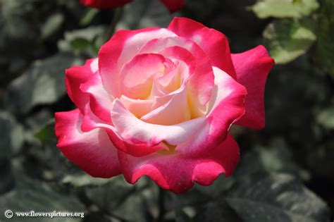 rose flower images rose pictures rose flower pictures