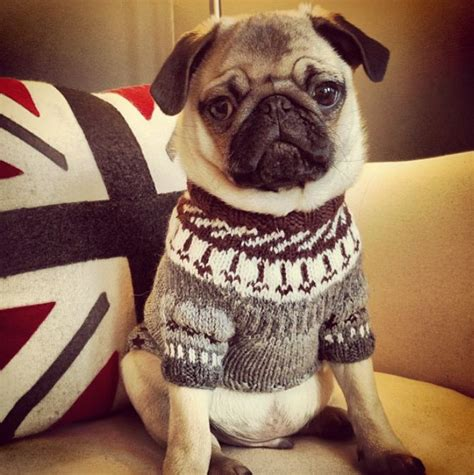pug sweater pug in a sweater