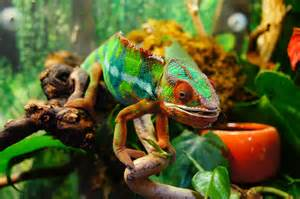 do chameleons change color 301 moved permanently