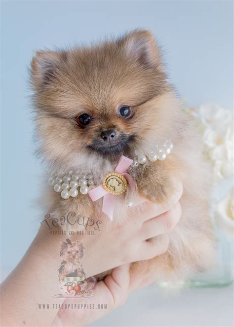pomeranian boutique pomeranians by teacups puppies and boutique teacups puppies boutique