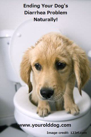 golden retriever potty tips 17 best images about nutrition and remedies on biscuits for dogs