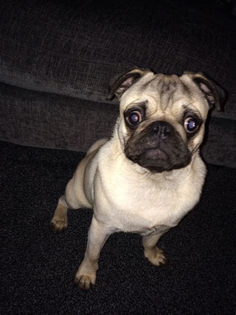 trained pugs for sale kc reg 10 month fully trained pug for sale ashford kent pets4homes