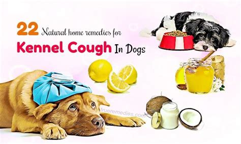 puppy kennel cough home remedies 22 home remedies for kennel cough in dogs