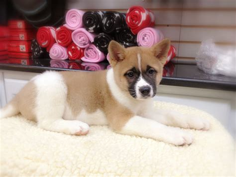 empire puppies bulldog puppies for sale 1899 up shiba inu breeds picture