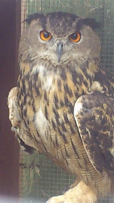 european eagle owls for sale wakefield west yorkshire