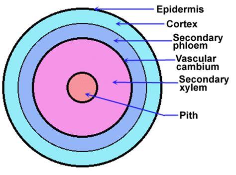 vascular tissue diagram pics for gt vascular tissue in plants diagram