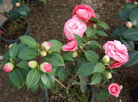 fiori camelia piante da vaso camellia camelia camellia japonica