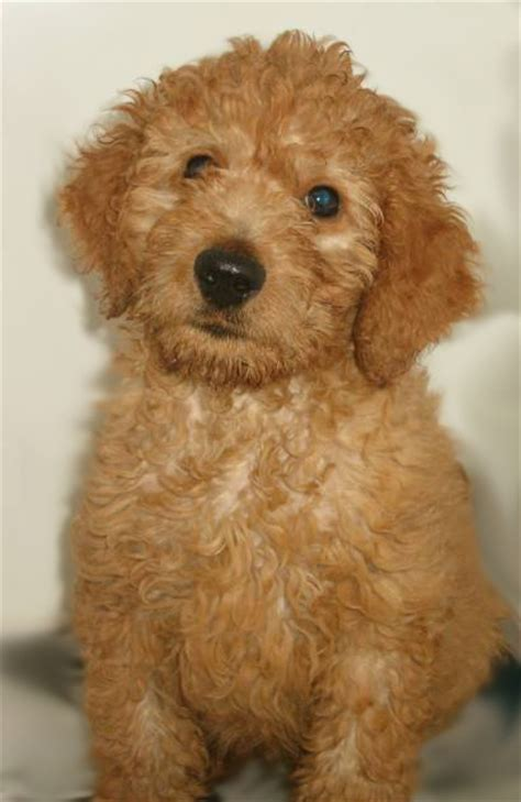 what does a golden retriever look like goldendoodle katy perry buzz newhairstylesformen2014