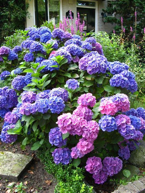 hydrangea front yard hydrangeas flowers a well backyards and