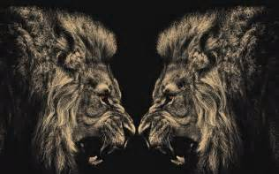 angry lion hd wallpaper