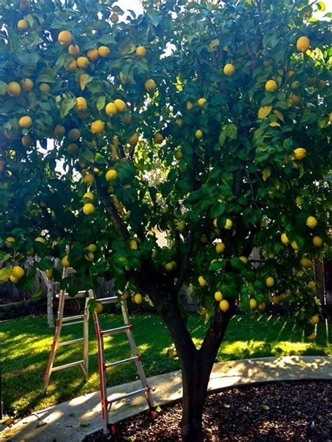 lemon tree in the backyard plant citrus trees along the