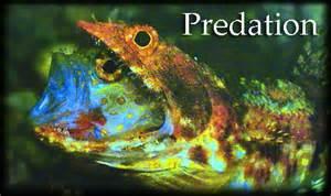 Predation the declining numbers of predators in coral reefs