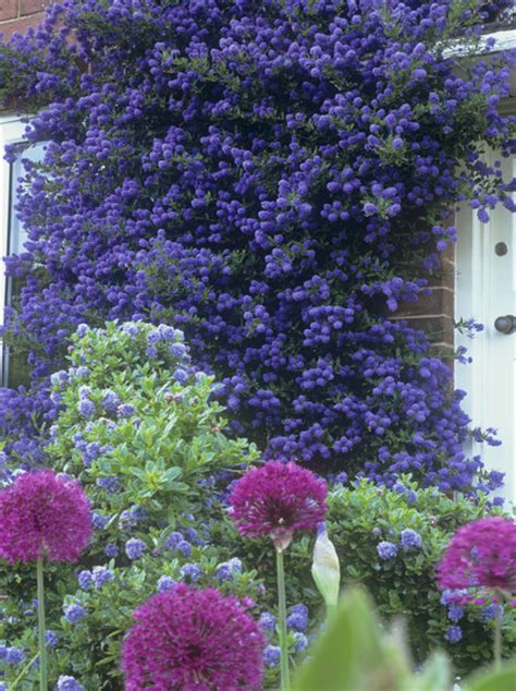 lilac climbing plant allium purple sensation photos design ideas remodel