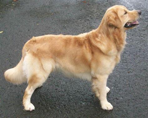 Jual Kasur Palembang Di Pekanbaru jual anjing golden retriever dewasa produktif jual