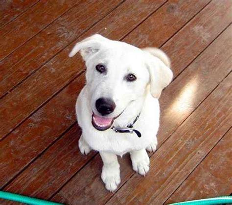 labrashepherd puppies for sale german sheprador puppies for sale submit your own sheprador breeds picture