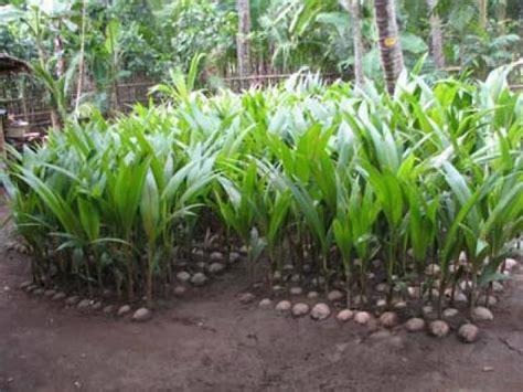 Jual Bibit Kelapa Kopyor Di Bogor jual bibit kelapa kopyor harga murah bogor oleh toko