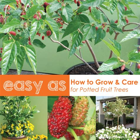 Little Store Of Home Decor by How To Grow Fruit Trees In Pots Plant Position