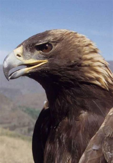 golden eagle aquila chryseatos encyclopedia  puget sound
