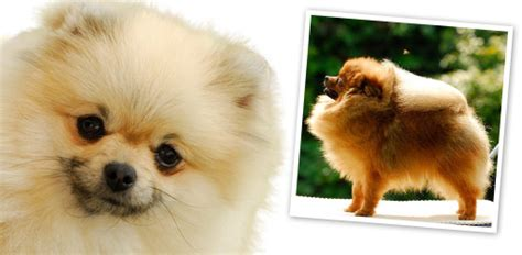 pomeranian average weight your pomeranian breed profile breeds
