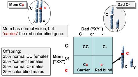 color blindness punnett square mendelian patterns of inheritance