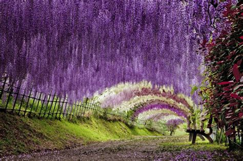 Flower Garden In Japan Wisteria Flower Tunnel In Japan 20 Unbelievably Beautiful Places