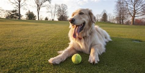golden retriever pros and cons the pros and cons of parks lubrisynha
