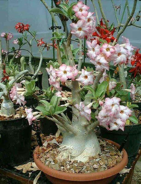 jual bibit benih bunga hias adenium arabicum super  jenis