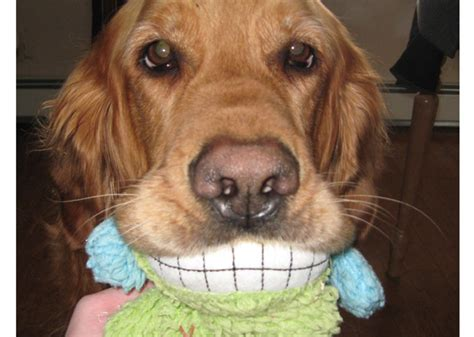 jake the golden retriever 11 playful dogs who their toys
