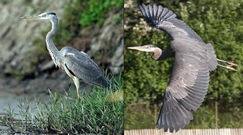 heron meaning heron tattoos what do they mean heron tattoo designs