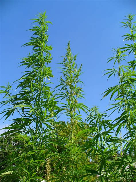 canapé prune cannabis wikip 233 dia