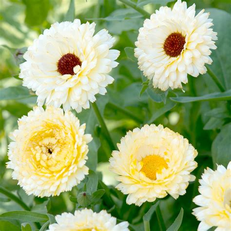 Garden Flower Seeds Calendula Snow Princess All Flower Seeds Flower Seeds Flowers Garden Dobies
