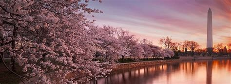 national cherry blossom festival national cherry blossom festival cherry blossoms galore tour