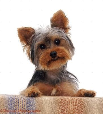 what is the average lifespan of a yorkie living dogs in real years animal fair wendy pet