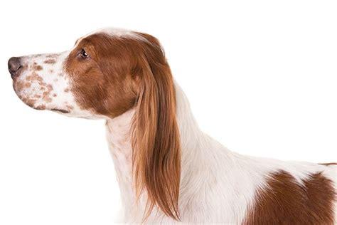 white setter dog irish red and white setter dog breed information