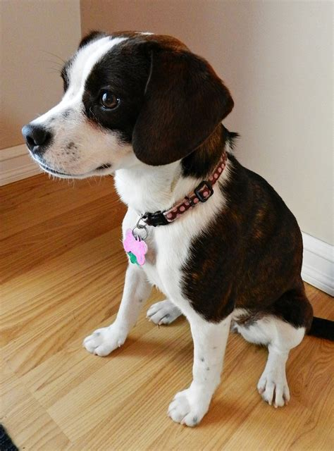 terrier mix puppies boglen terrier boston terrier beagle mix info puppies pictures