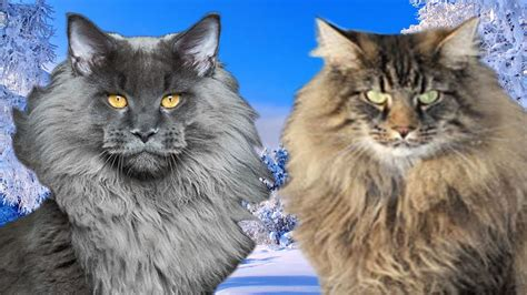 ragdoll vs maine coon maine coon vs forest cat what are the