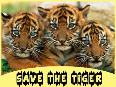 Save Tiger Essay In by Save Tiger Essay For Students And In