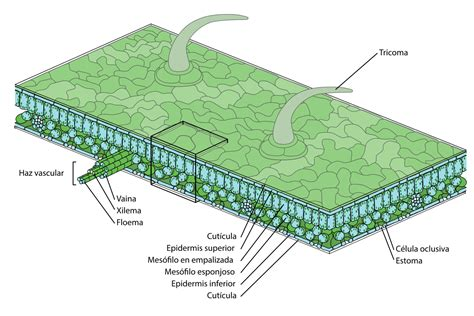 leaf palisade cell diagram file leaf structure es svg wikimedia commons
