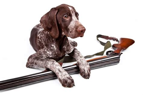 sporting dogs keep sporting dogs at a healthy weight to power performance midwest outdoors