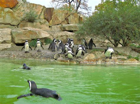 zoologischer garten wien file brillenpinguine zoo berlin jpg wikimedia commons
