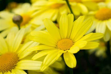 nomi fiori gialli fiori gialli nomi caratteristiche origine immagini