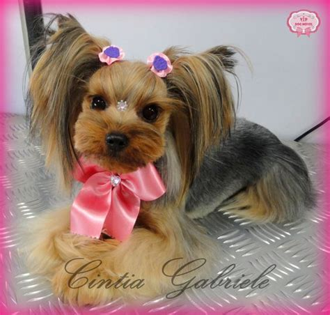 korean cut for yorkie korean dog grooming style model yorkshire taty vip