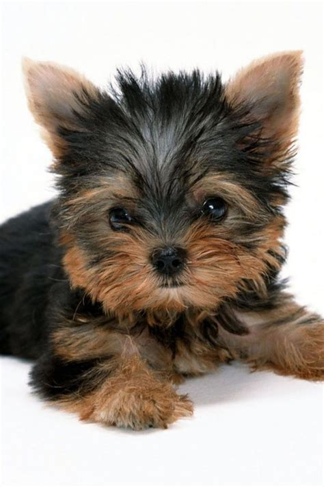 how much are yorkie dogs i yorkies sooooo much puppies puppys yorkies and