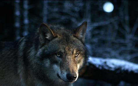 fondos de pantalla de lobos en movimiento fondos de pantalla fondos de lobos fondos de pantalla