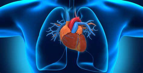 imagenes de corazones del cuerpo humano 191 cu 225 nto mide el coraz 243 n humano 187 respuestas tips