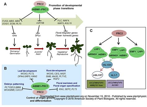 pattern formation in plants masteringbiology the arabidopsis polycomb repressive complex 1
