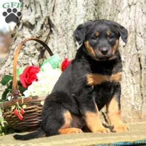golden retriever rottweiler mix puppies for sale rottweiler lab mix puppies for sale dogs our friends photo