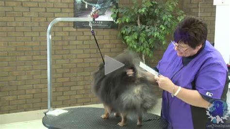 how to trim pomeranian how to trim the rear end of a pomeranian learn2groomdogs