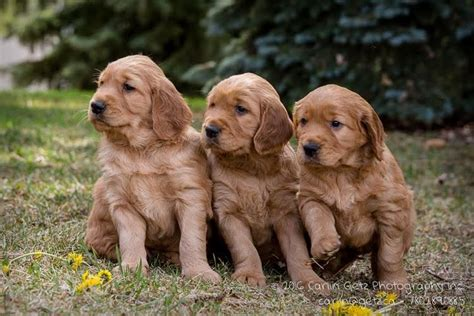 golden retriever puppies for sale in northern ireland golden retriever puppies for sale adoption from