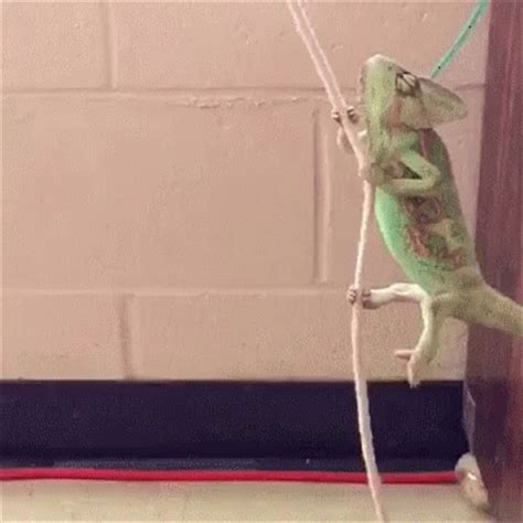 swinging gif lizards swing gif lizards swing gymnastics discover